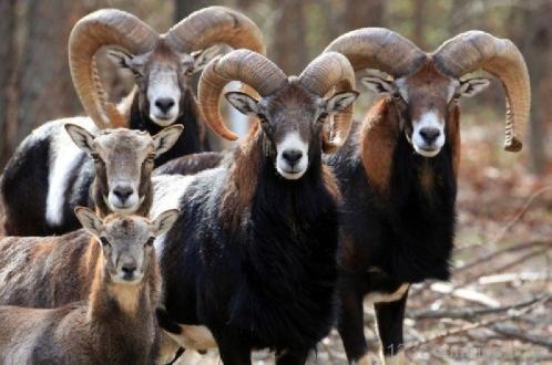 €1 млн фермерам на защиту от красавцев-муфлонов