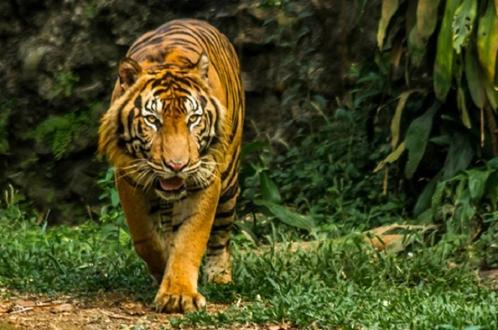 Тигры побороли коронавирус