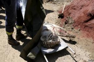 В Тбилиси убили белого тигра
