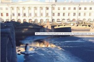 Пингвин поплывет через Петербург