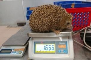 В Израиле ежей лечат от ожирения