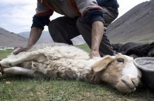 Молния убила 250 овец