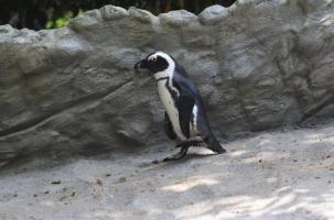 Пингвин вышел на границу с Азербайджаном