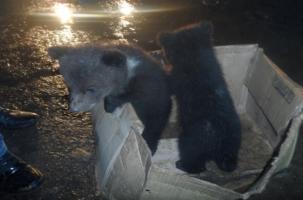 Как медвежата попали в полицию Коми
